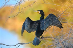 Great Cormorant, spreading its wings
