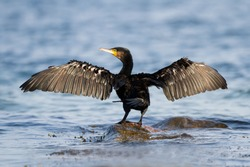 Great Cormorant-The Great Cormorant (Phalacrocorax carbo), known as the Great Black Cormorant across the Northern Hemisphere,