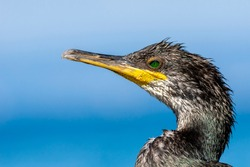 Great Cormorant, The Great Cormorant, Phalacrocorax carbo, The Great Black Cormorant