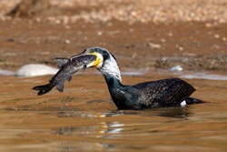 Great Cormorant with Fish at Chambal Wildlie Sanctuary