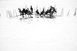 Great Cormorants perched on fishing net at Busaiteen coast of Bahrain. A highkey image