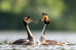 Great crested grebe courtship ritual