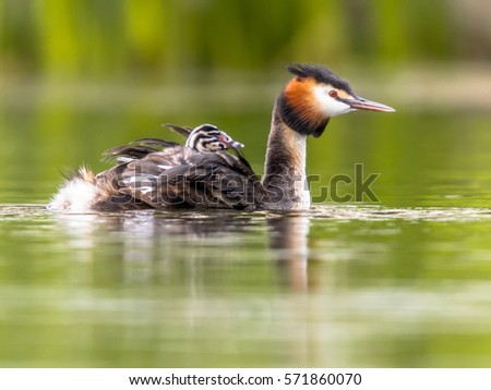 Great crested grebe (Podiceps cristatus) female swimming with chicks on back. This is a water bird noted for its elaborate mating display.