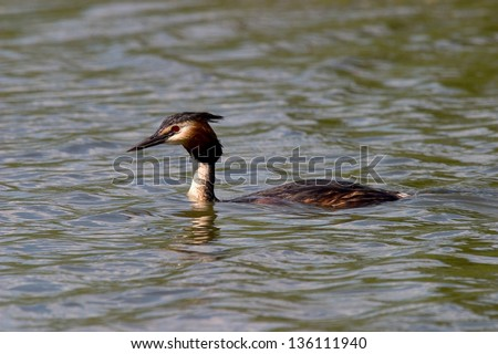 great crested grebe sea animals birds with wings wild birds abnormal world