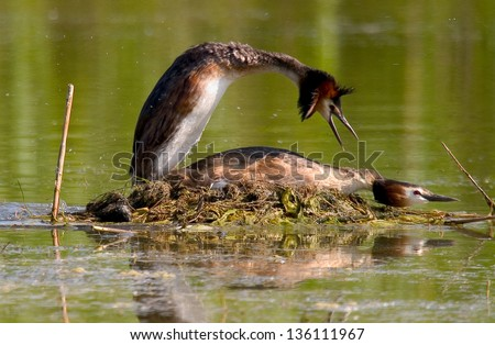 great crested grebe sea animals birds with wings wild birds abnormal world coupling