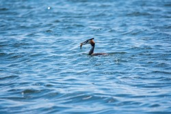 Great Crested Grebe swimming in the calm lake with fish in its beak. The great crested grebe, Podiceps cristatus, is a member of the grebe family of water birds.