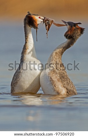 Great Crested Grebe, waterbird (Podiceps cristatus) in mating season