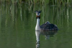 Great Crested Grebe, waterbird (Podiceps cristatus) with juvenile on his back. Great crested grebe with youngsters.