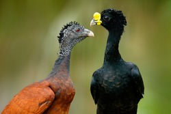 Great Curassow, Crax rubra, big black birds with yellow bill in the nature habitat, Costa Rica. Pair of birds, male and female. Wildlife scene from tropical forest. Detail portrait.