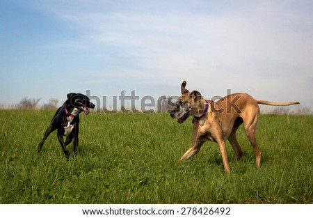 Great Dane and black dog playing chase in green field