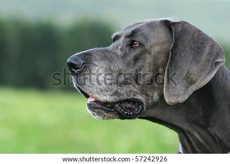 Great Dane blue  9 Years old with grey snout