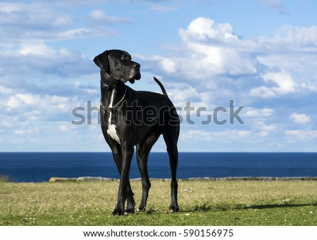Great Dane by the sea  #590156975