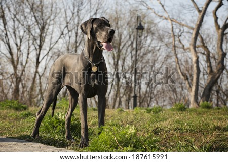 great dane dog Foto d'archivio ©