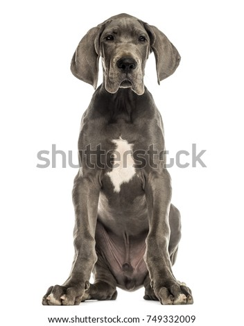 Great Dane dog sitting, facing, isolated on white #749332009