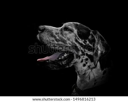 Great Dane Fine Art Portrait