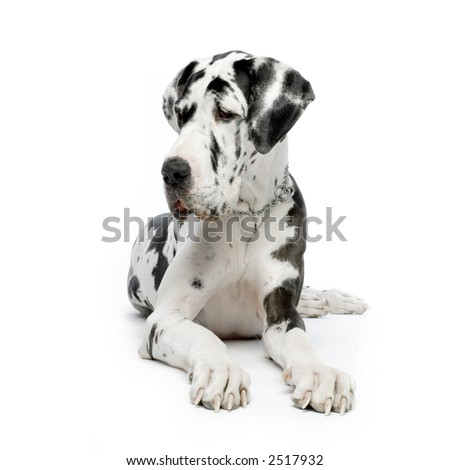 Great Dane HARLEQUIN sitting In front of white background