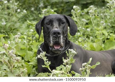 Great Dane in a bush Zdjęcia stock ©