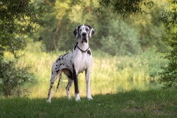 Great dane in beautiful landscapes