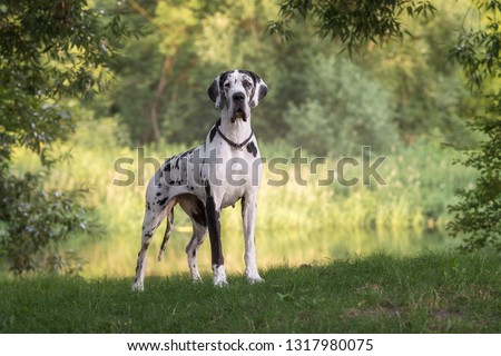 Great dane in beautiful landscapes Foto stock ©