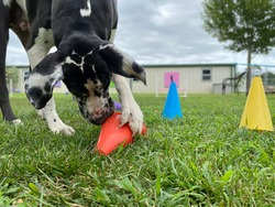 Great Dane, large dog playing memory game sniffing and clawing colorful cones looking for toy ball and treats underneath in the green grass on overcast day at canine enrichment dog daycare facility