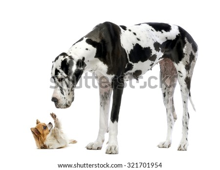 Great Dane looking at a Chihuahua in front of a white background Foto d'archivio ©