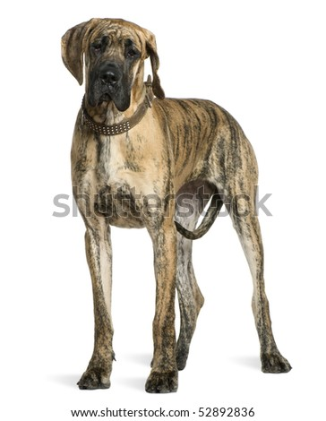 Great Dane, 10 months old, standing in front of white background - stock photo