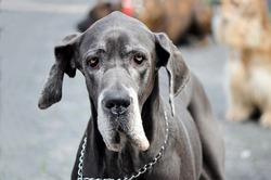 Great dane old dog senior at dog show with collar