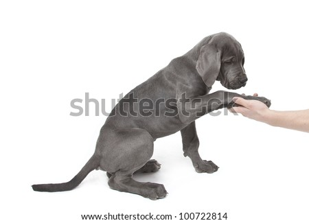 great dane puppy giving paw, give me paw