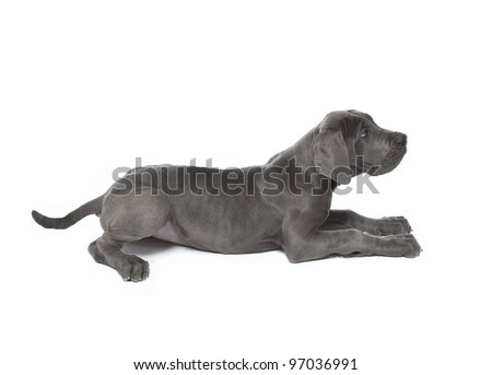great dane puppy laying down , blue great dane puppy