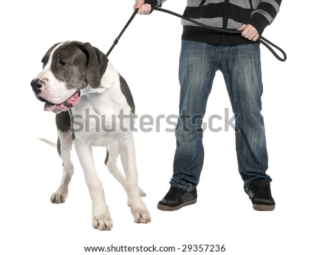 Great Dane puppy on a leash (6 months old) in front of a white background