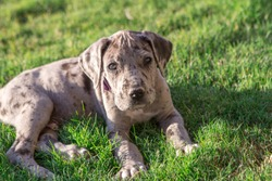Great Dane Puppy on green grass