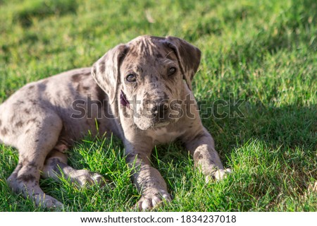 Great Dane Puppy on green grass Foto d'archivio ©