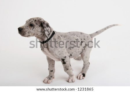 Great Dane puppy on point
