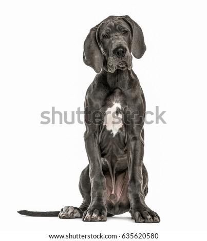 Great Dane sitting, isolated on white #635620580