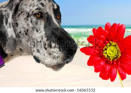 Great Dane sniffing Gerber Daisy at beach