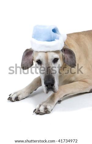Great Dane With Blue Santa Hat