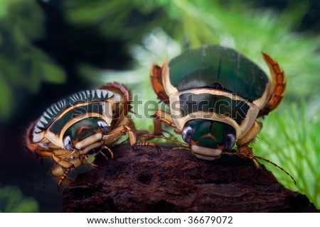great diving beetle swimming water insect bug underwater male and female animal of freshwater pond  wildlife dytiscus marginalis close up portrait