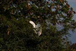Great egret, also known as common egret, great egret, or white egret or white heron. Herons build tree nests in colonies close to water. selective focus.