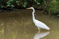 Great egret also known as the common egret, large egret, great white egret or great white heron