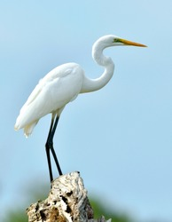 Great Egret and blue sky background. Ardea alba, also known as the common egret, large egret or (in the Old World) great white egret or great white heron.