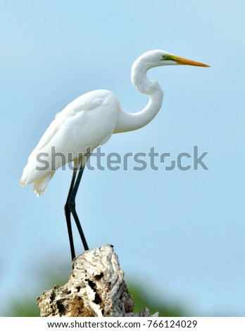 Great Egret and blue sky background. Ardea alba, also known as the common egret, large egret or (in the Old World) great white egret or great white heron.\n