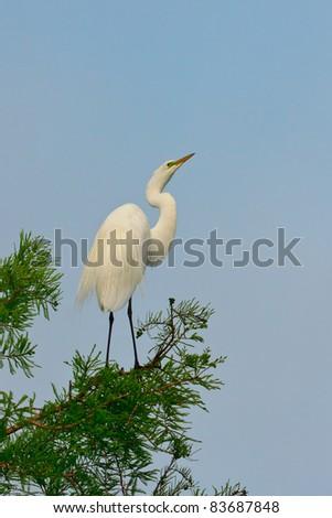Great Egret, Ardea alba