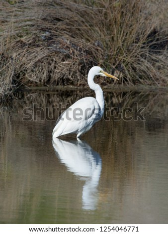 Great Egret, Ardea alba exhibiting breeding plumage hunts in a river. Also called White Egret or White Crane, one of Australias native Egrets.