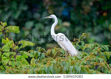 Great egret (Ardea alba) / great white egret/ white heron/ great white heron/ large egret/ common egret with sea green coloring near beak during breeding season, perched on a tree.