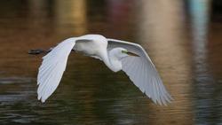 Great Egret (Ardea alba) in flight over a pond - Venice, Florida