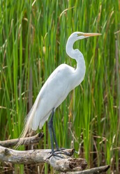 Great Egret behind cat tails