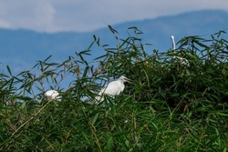 Great Egret, Common Egret, Great White Heron in Indonesia. Great egret (Ardea alba), egret on a shady tree against a blue sky background. selective focus.