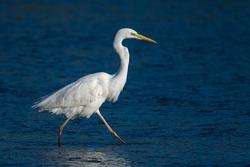 Great egret, common egret, large egret, great white egret or great white heron (Ardea alba) Malaga, Spain