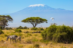Great egret flies over a herd of zebras that graze in the savannah at the foot of Kilimanjaro. Trip to the Horn of Africa. Southeast Kenya, the Amboseli park