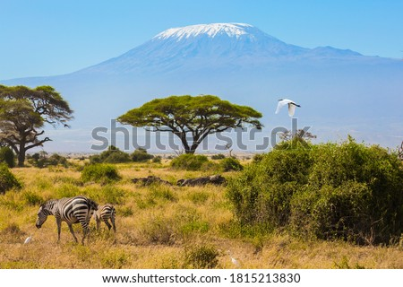 Great egret flies over a herd of zebras that graze in the savannah at the foot of Kilimanjaro. Trip to the Horn of Africa. Southeast Kenya, the Amboseli park Photo stock ©